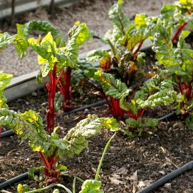 Beets growing in a community garden